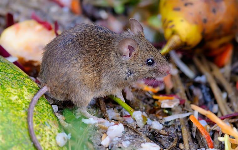 house mouse rummaging through the garbage outside of a fairfield new jersy home