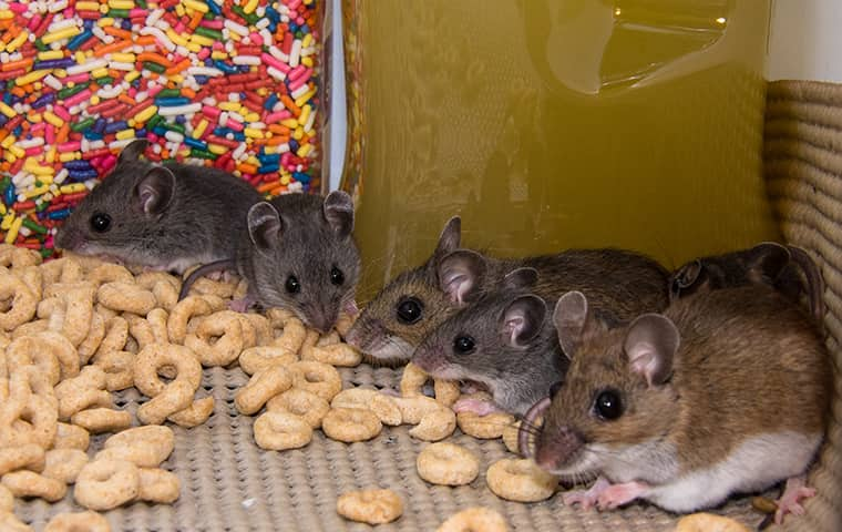 a group of mice eating cereal in a garfield new jersey home