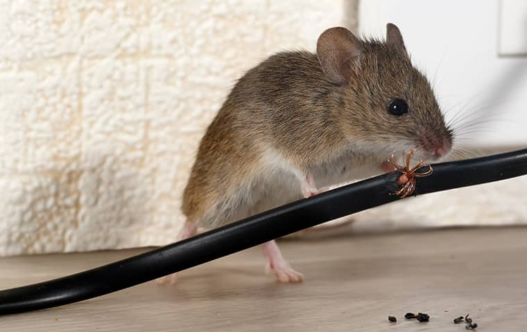 a mouse chewing on an electrical cord inside a home in caldwell new jersey