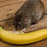 rat in a home eating a banana