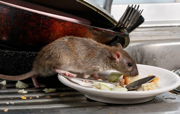 A rat eating off of dirty plates in a new jersey restaurant kitchen