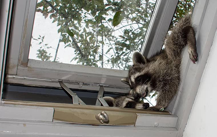 two raccoons sneaking into a mahwah new jersey home