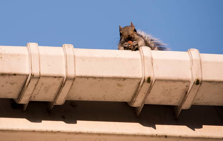 a squirrel peering out from the roof of a new jersey home