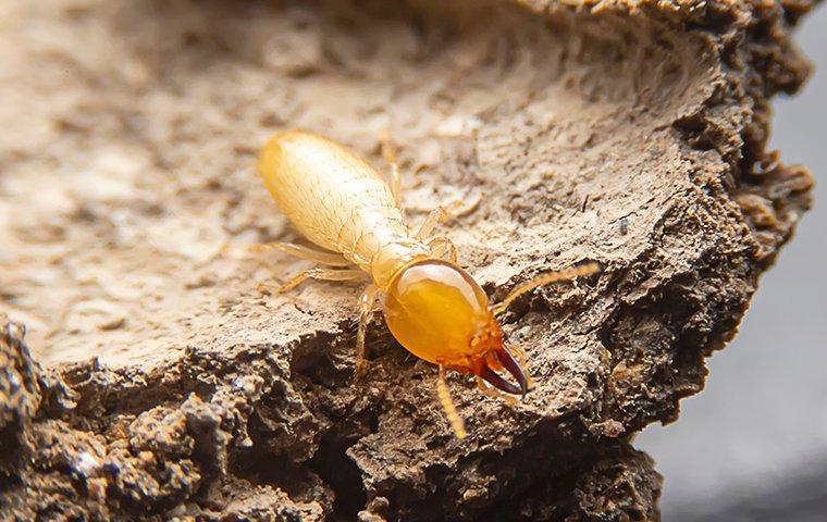 termite crawling on wood inside walls