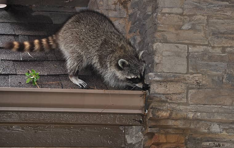 a raccoon crawling on the roof of a northern new jersey home