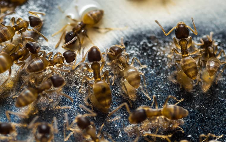 an odorous house ant colony inside of a wayne new jersey home