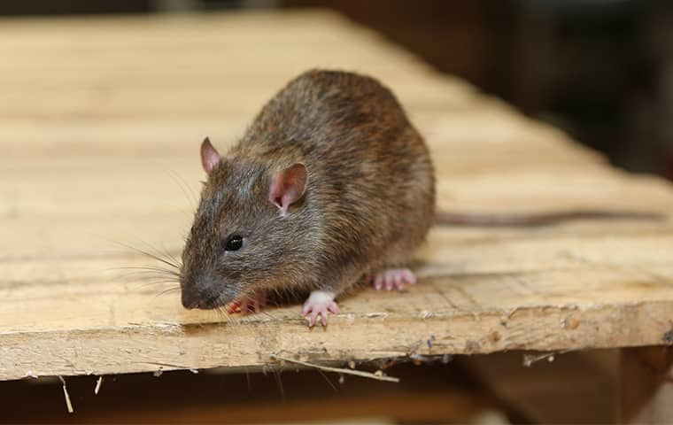 a rat crawling on a table in a new jersey residential basement