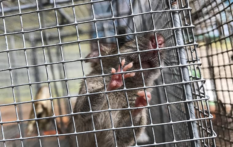 a rat in a cage in a home in oakland new jersey