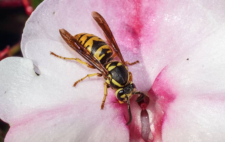 a yellow jacket wasp on a pink flower outside in wyckoff new jersey