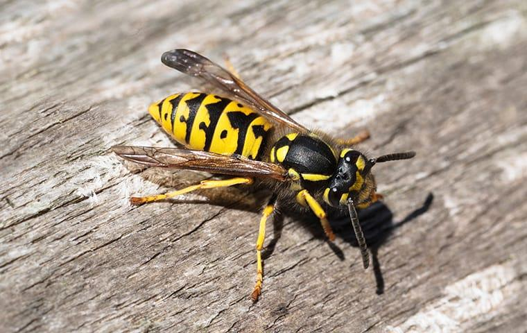 a yellow jacket on a picnic table