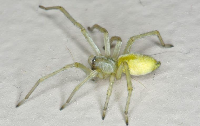 a yellow sack spider crawling across a white tile floor inside of a prompton plains new jersey home