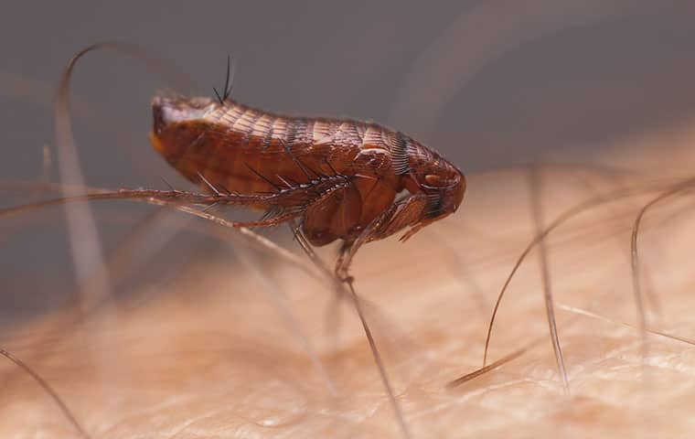 a flea on a persons skin in pompton lakes new jersey