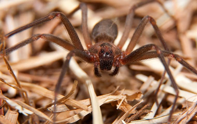 a brown recluse spider inside a home in butler new jersey