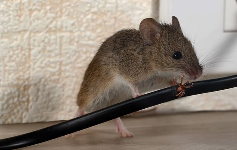 a mouse chewing an electrical cord in a home in butler new jersey