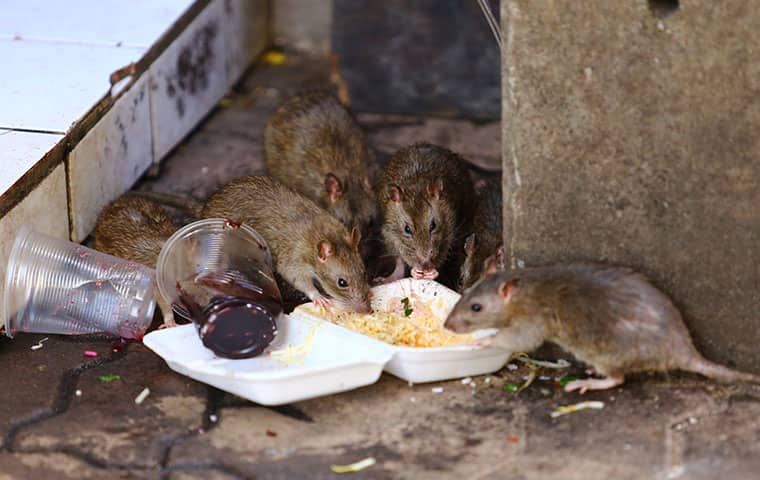 six rats eating noodles out of a take out container in oakland new jersey