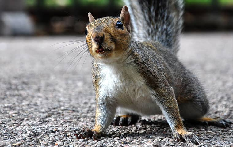 a gray squirrel on a driveway in wyckoff new jersey