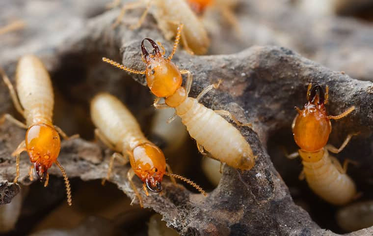 many termites crawling on ruined wood in wyckoff new jersey