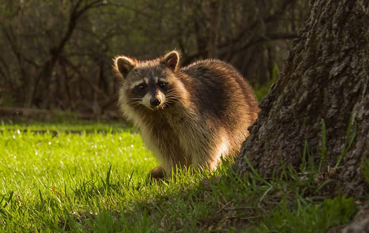 a raccoon outside of a home in lincoln park new jersey