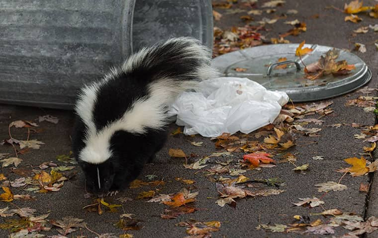 a skunk getting into trash outside a home in caldwell new jersey