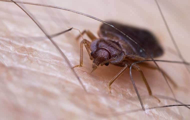 a bed bug on a persons arm in de beque colorado