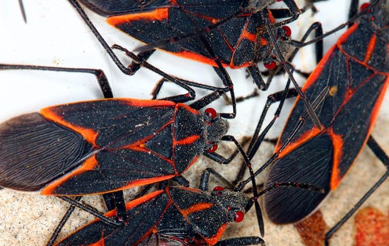 a cluster of box elder bugs crawling along a patio table on an aspen colorado property