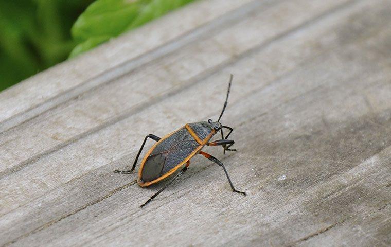 a boxelder bug on a vail property