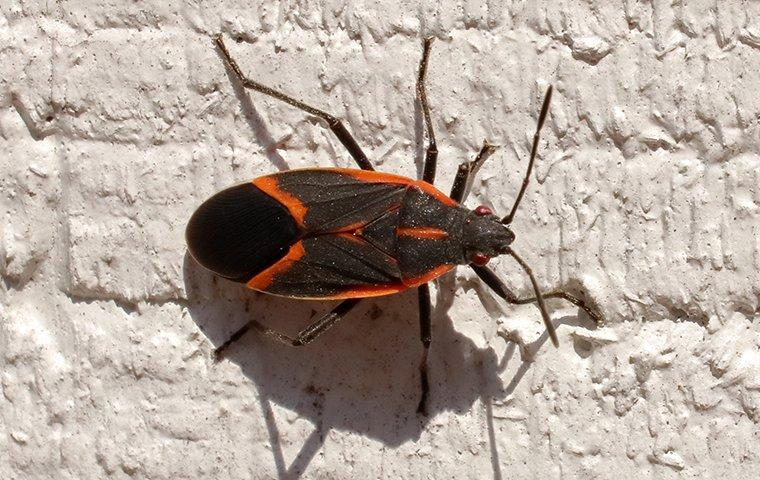a box elder bug crawling on the side of a wall