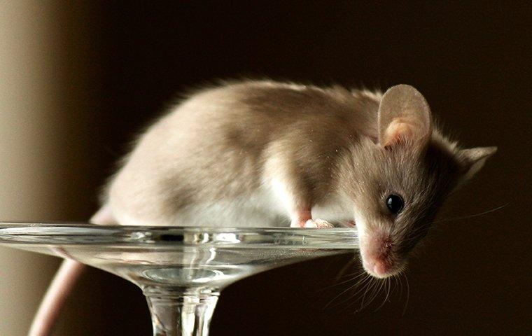a house mouse on top of plastic stemware