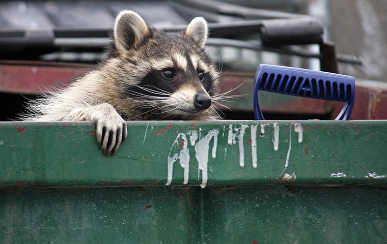 a raccoon inside of a trash dumpster in aspen colorado