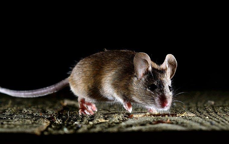 mouse walking on wooden floor at night