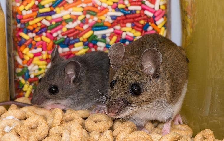 a rodent infestation within a vail colorado food pantry