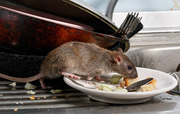 a rat crawling on a plate inside of an aspen colorado kitchen