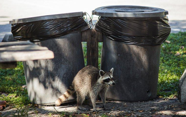 raccoon near trash cans