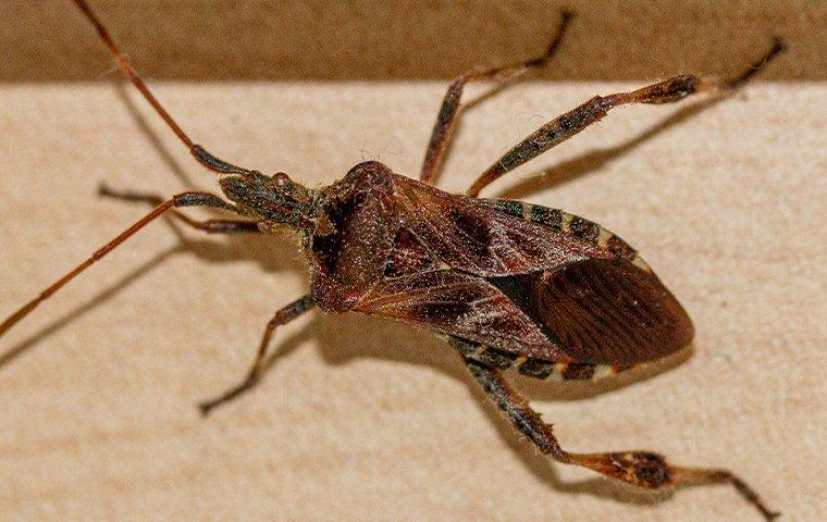 a conifer seed bug in a house