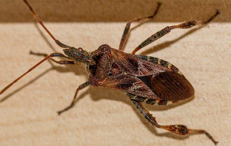 a western conifer seed bug traveling along an aspen colorado hallway