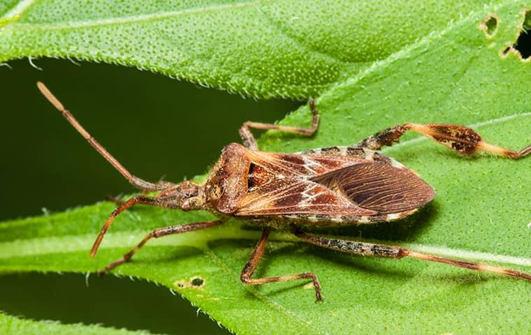 a western conifer seed bug crawling along a vibrant green leaf outside of a colorado home