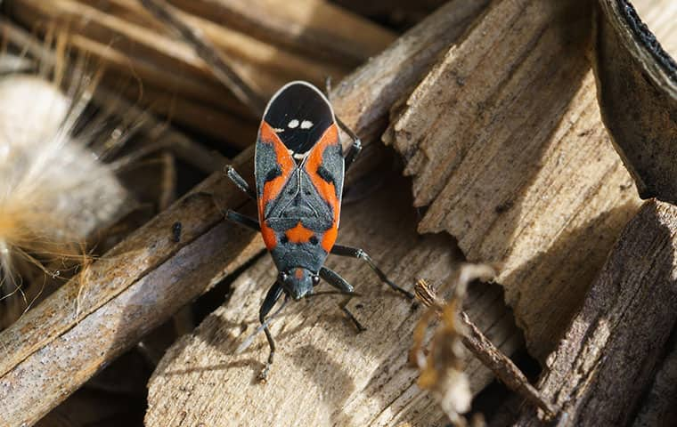 a box elder bug outside a home in rifle colorado