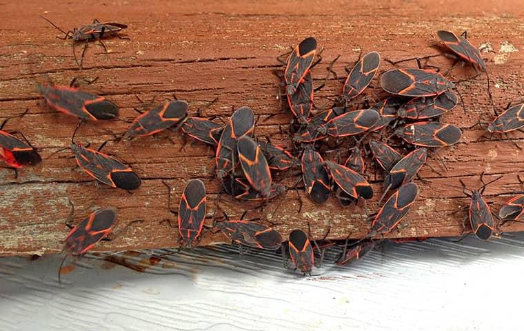 many box elder bugs on a porch in parachute colorado