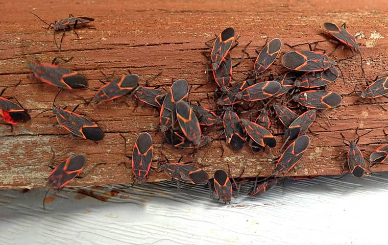 many box elder bugs on a porch in parachute colorado