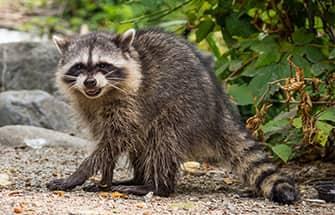 a raccoon on a basalt colorado property