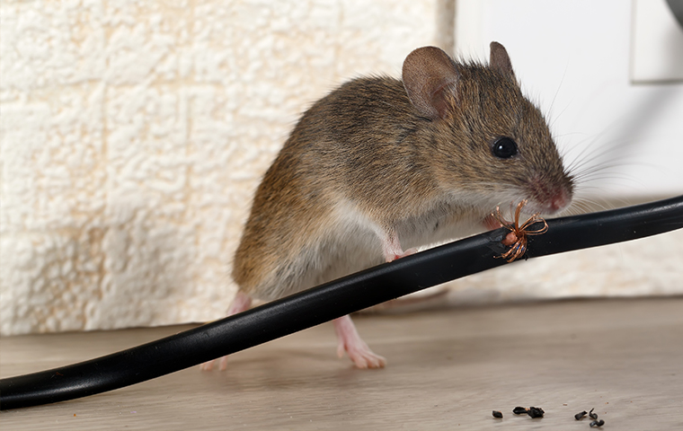 a mouse chewing an electrical cord inside a house in carbondale colorado