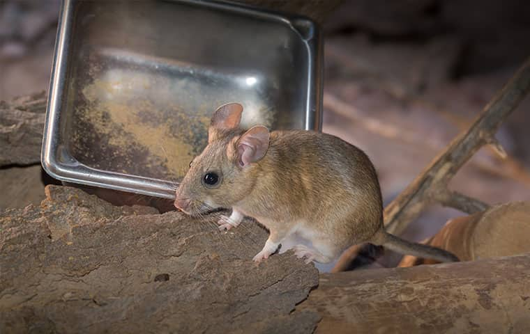 a pack rat in a kitchen in vail colorado