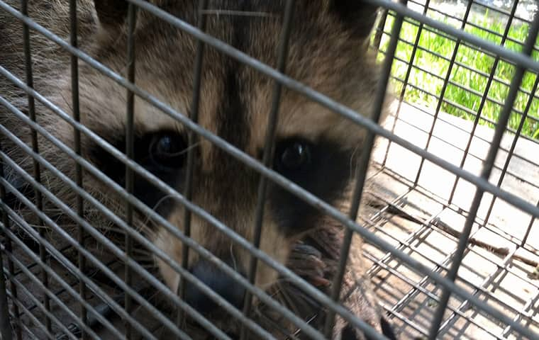 a raccoon trapped in a cage outside of a vail colorado home