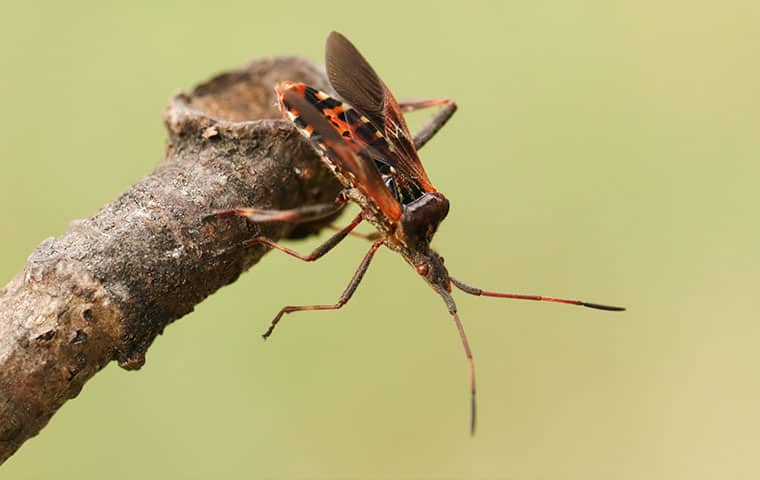 a western conifer seed bug outside a home in edwards colorado