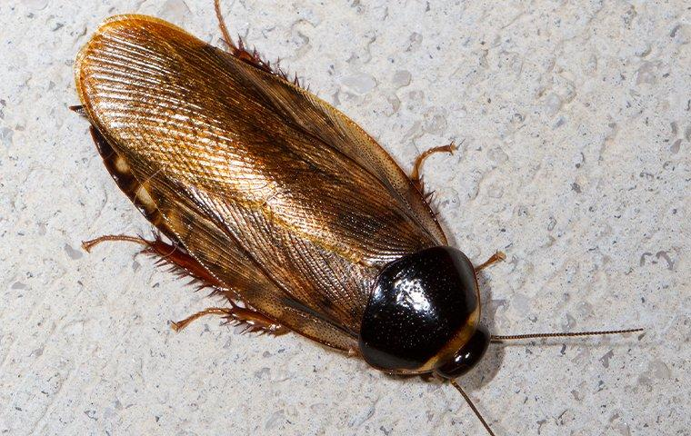 a brown cockroach