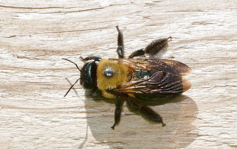close up of carpenter bee on wood