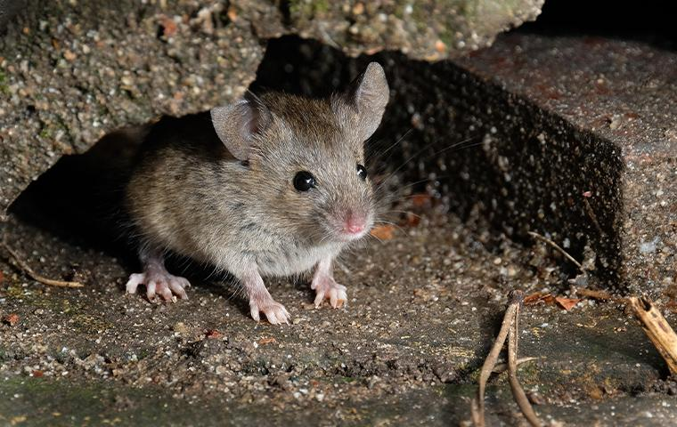 a mouse resting on cement