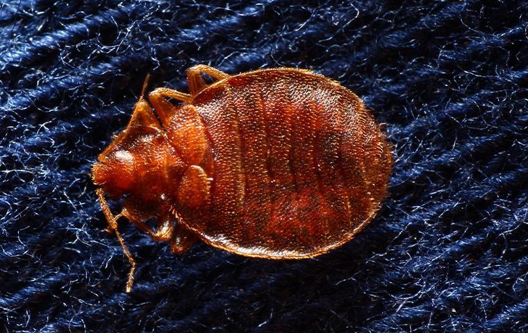 bed bug on mattress spring