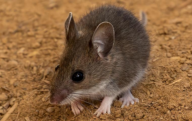 a mouse in the dirt