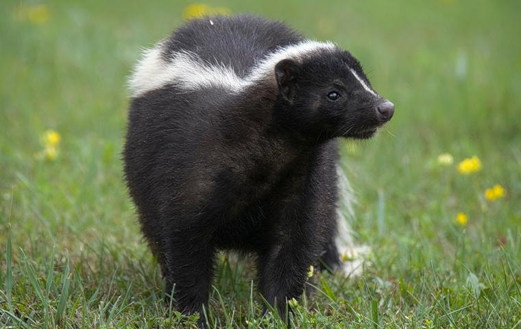 a skunk in the grass